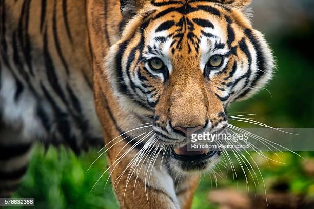 Sumatran Tiger (Panthera Tigris Sumatrae). Head shot
