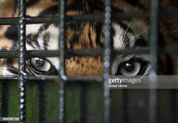 Tiger cage stock photos and pictures getty images - Tiger in cage images ...