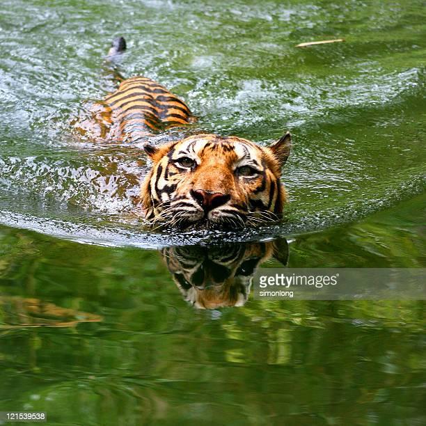 Sumatran tiger in pool