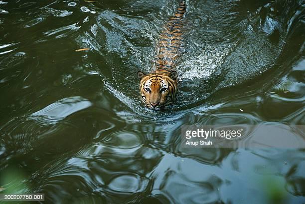 sumatran tiger (panthera tigris sumatrae) in water, captive, sumatra, indonesia - sumatran tiger stock pictures, royalty-free photos & images