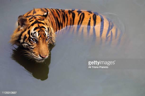 sumatran tiger in water - ali cat fotografías e imágenes de stock