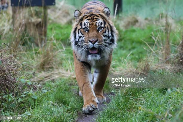 Sumatran Tiger is seen walking around the enclosure during the annual stocktake at London Zoo London Zoo undertakes its annual stocktaking which is...