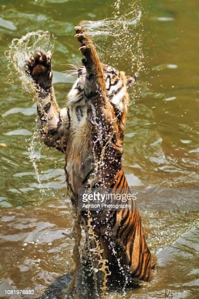 sumatran tiger jumping out the water - sumatran tiger stock pictures, royalty-free photos & images