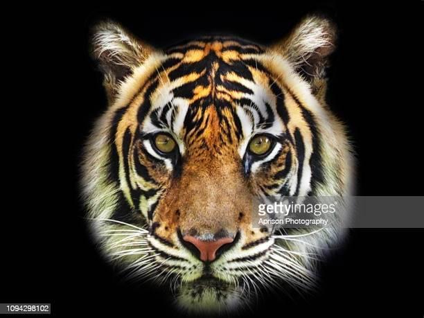 sumatran tiger looking at camera - animal head stock pictures, royalty-free photos & images