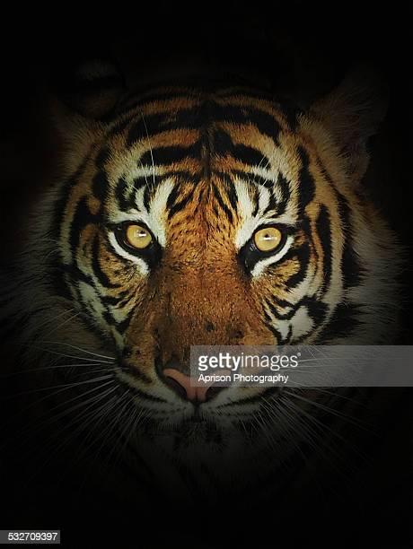 sumatran tiger looking at camera - maltrato animal fotografías e imágenes de stock