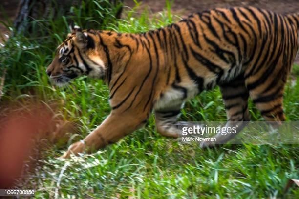 sumatran tiger - sumatran tiger stock pictures, royalty-free photos & images