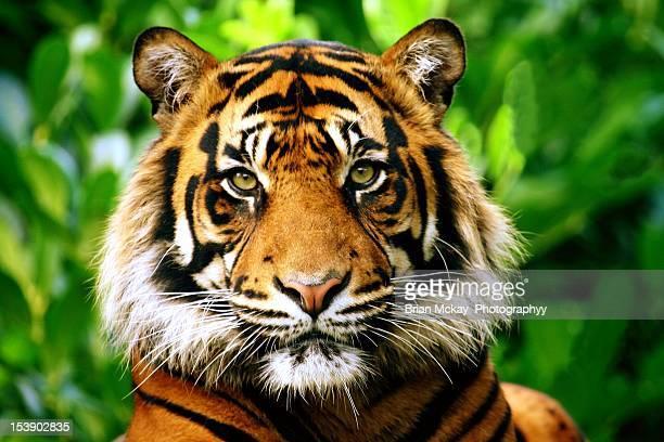 sumatran tiger - animal head stock pictures, royalty-free photos & images