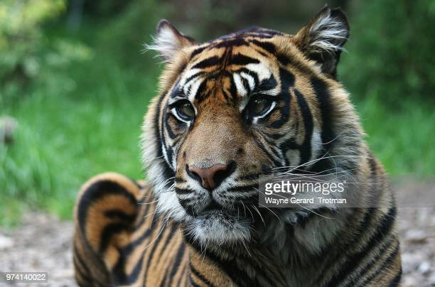 sumatran tiger - wayne gerard trotman stock pictures, royalty-free photos & images