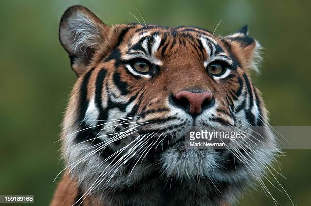 sumatran tiger portrait - sumatran tiger stock pictures, royalty-free photos & images