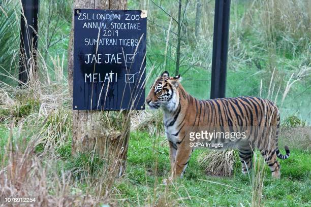 A sumatran Tiger seen during the Zoo's annual stocktaking Caring for more than 700 different species ZSL London Zoo's keepers face the challenging...