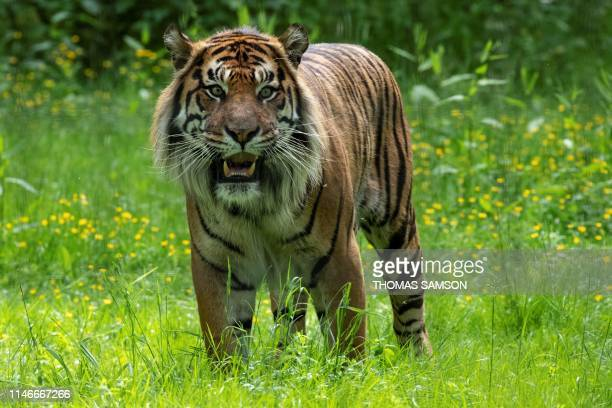 A Sumatran Tiger sits in an enclosure on May 23 in the Parc des Felins zoological park in LumignyNesleOrmeaux east of Paris
