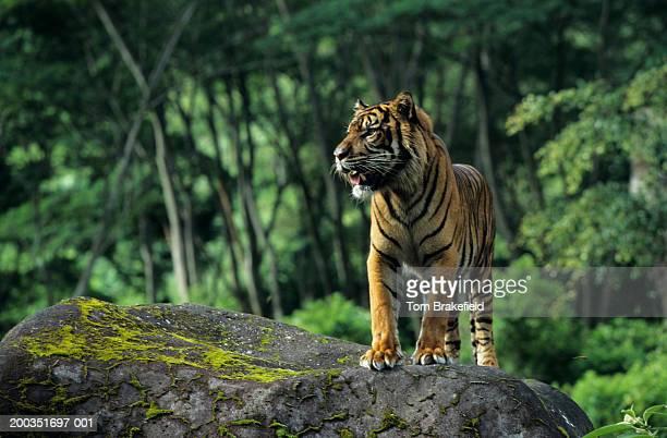 Sumatran tiger (Panthera tigris sumatrae) standing on rock, Indonesia