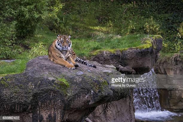 sumatran tiger tiger Panthera tigris sumatrae