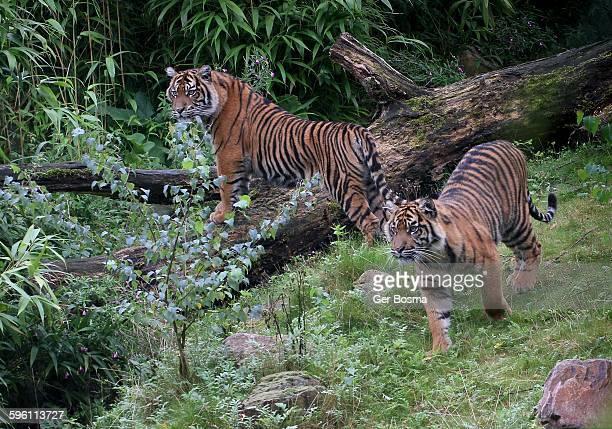 Sumatran Tiger Twins