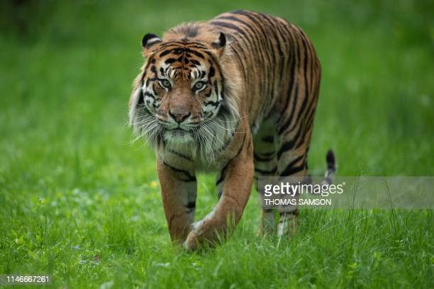 A Sumatran Tiger walks in an enclosure on May 23 in the Parc des Felins zoological park in LumignyNesleOrmeaux east of Paris