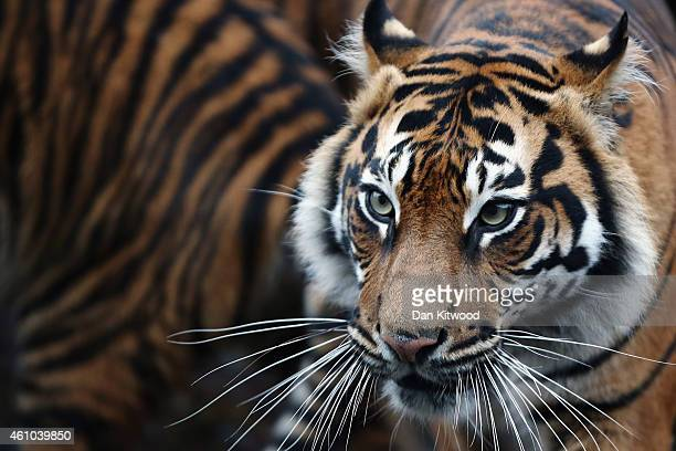 Sumatran Tiger walks through it's enclosure during the ZSL London Zoo's annual stocktake of animals on January 5 2015 in London England The zoo's...