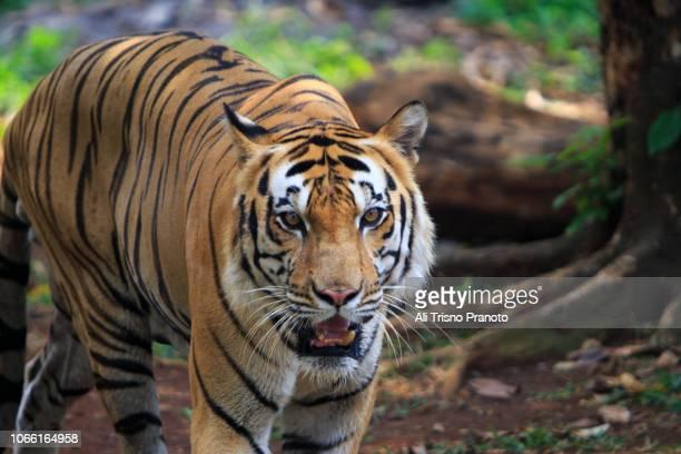 sumatran tiger, zoo, jakarta - ali cat fotografías e imágenes de stock