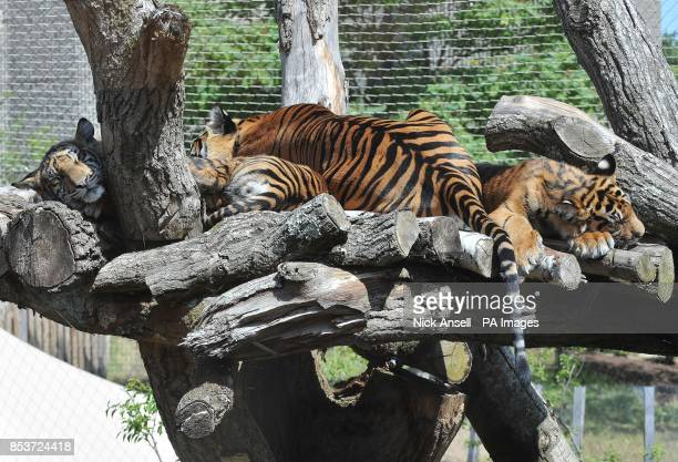 Sumatran tigers at ZSL London Zoo keep cool by lying out and sleeping in the shade as temperatures across many southern parts of England are expected...