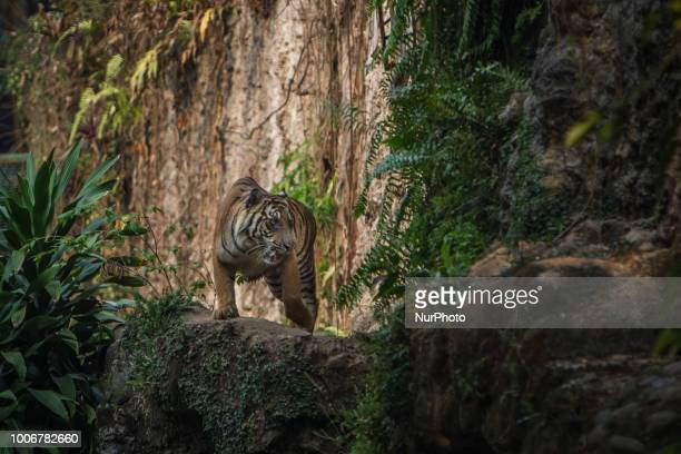 Sumatran Tigers walk in their enclosure at a zoo in Jakarta Indonesia July 28 2018 The population of Sumatran tigers reaches 350 across Sumatran...