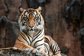 Sumatrean tiger