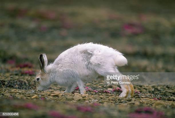 Summer Arctic Hare