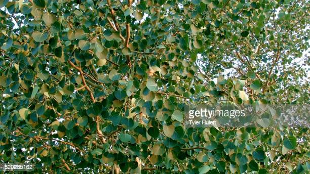summer aspen tree leaves in wind rustling dawn aspens steens mountain near malhuer wildlife refuge 1 - steens mountain stock pictures, royalty-free photos & images