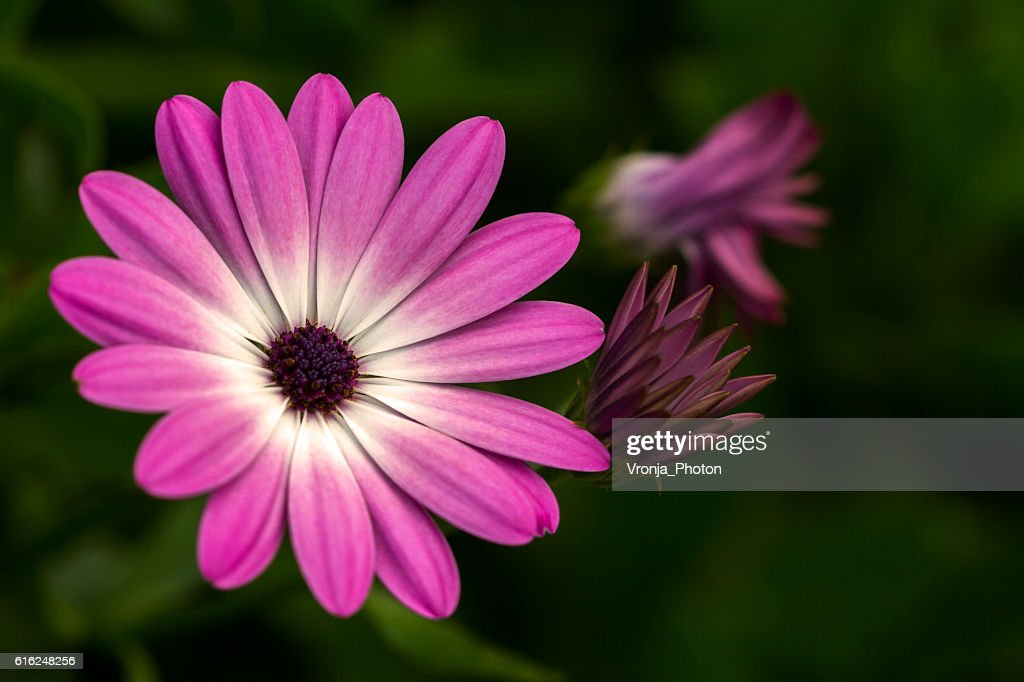 Summer aster : Stock Photo