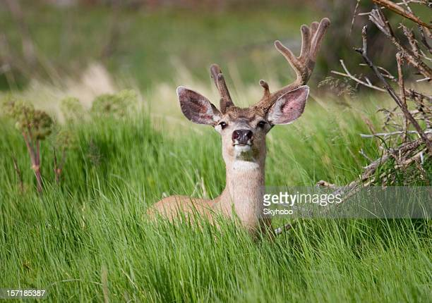 summer buck - mule deer stock photos and pictures