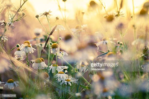 summer chamomile flowers at barley field