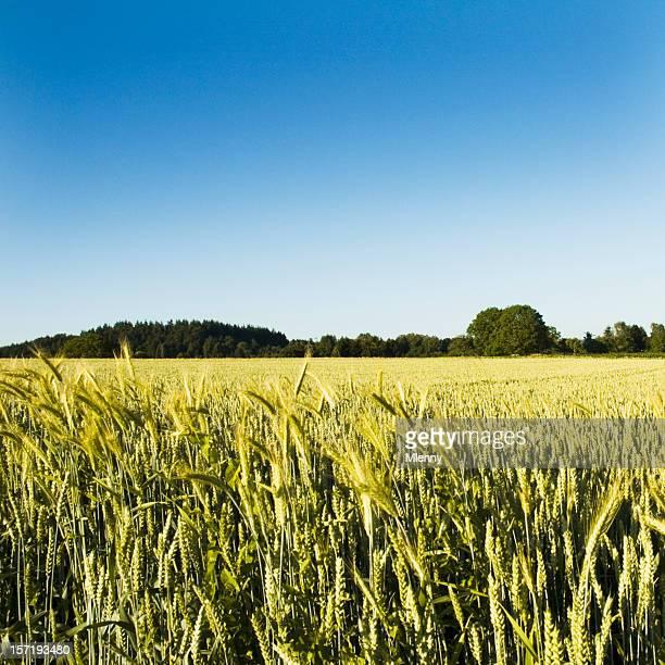 sommer-mais-pflanzen field - mlenny stock-fotos und bilder
