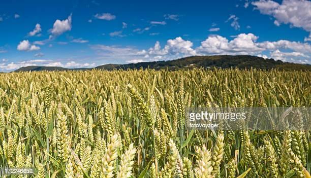 Verano de cultivo en el cielo perfecto