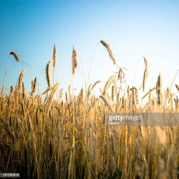 summer crops field - mlenny stock pictures, royalty-free photos & images