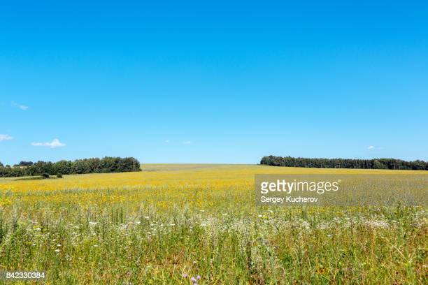 a summer day in the yellow flowering field - in fiore foto e immagini stock