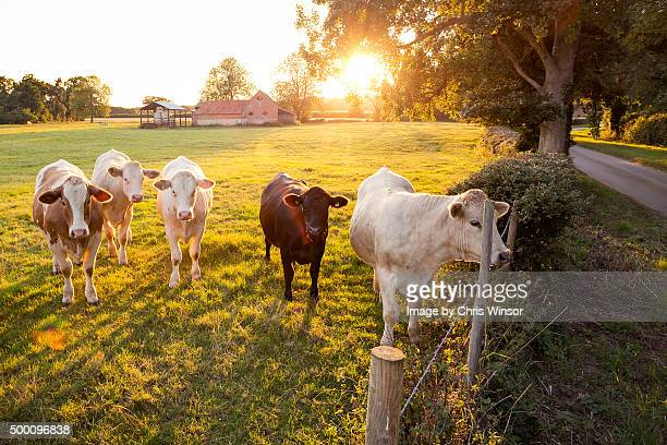 Summer evening dairy herd