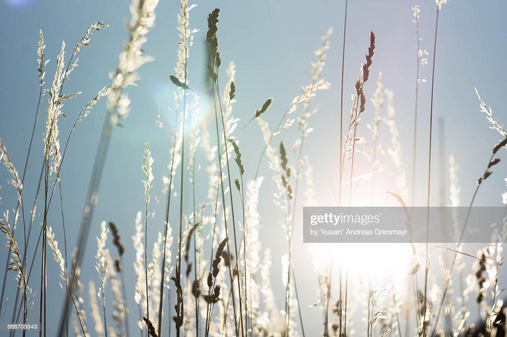 Summer feeling wild grass : Stock Photo