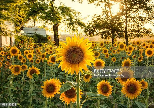 summer flower - helianthus stock photos and pictures