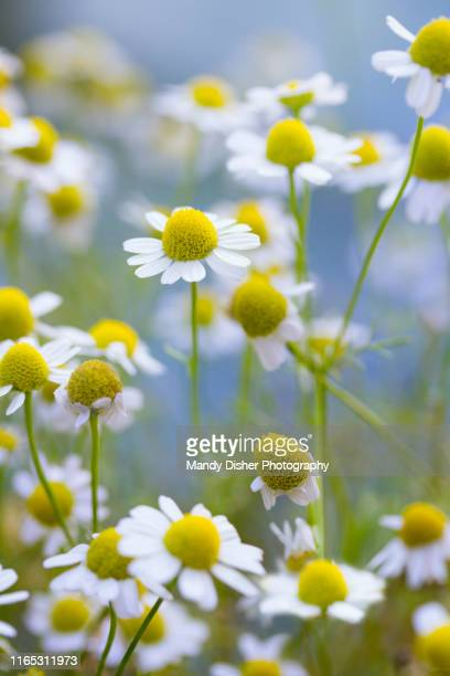 summer flowering chamomile - chamomile tea stock pictures, royalty-free photos & images