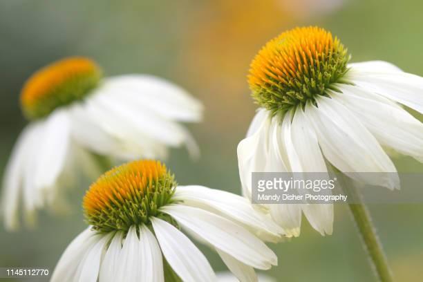 summer flowering echinacea (white swan) - 花頭 ストックフォトと画像