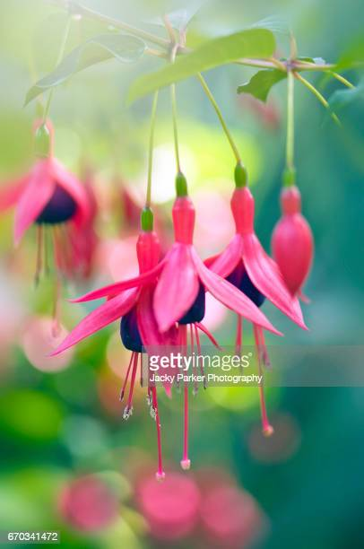 summer flowering pink fuchsia hanging flowers - hanging basket stock pictures, royalty-free photos & images