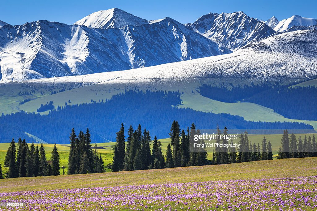 Summer Flowers Blooming, Kalajun Grassland, Xinjiang China : Stock Photo