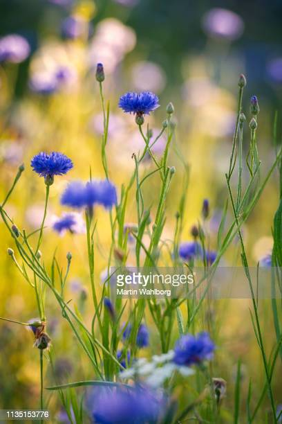 summer flowers meadow in the morning - wildflower stock pictures, royalty-free photos & images