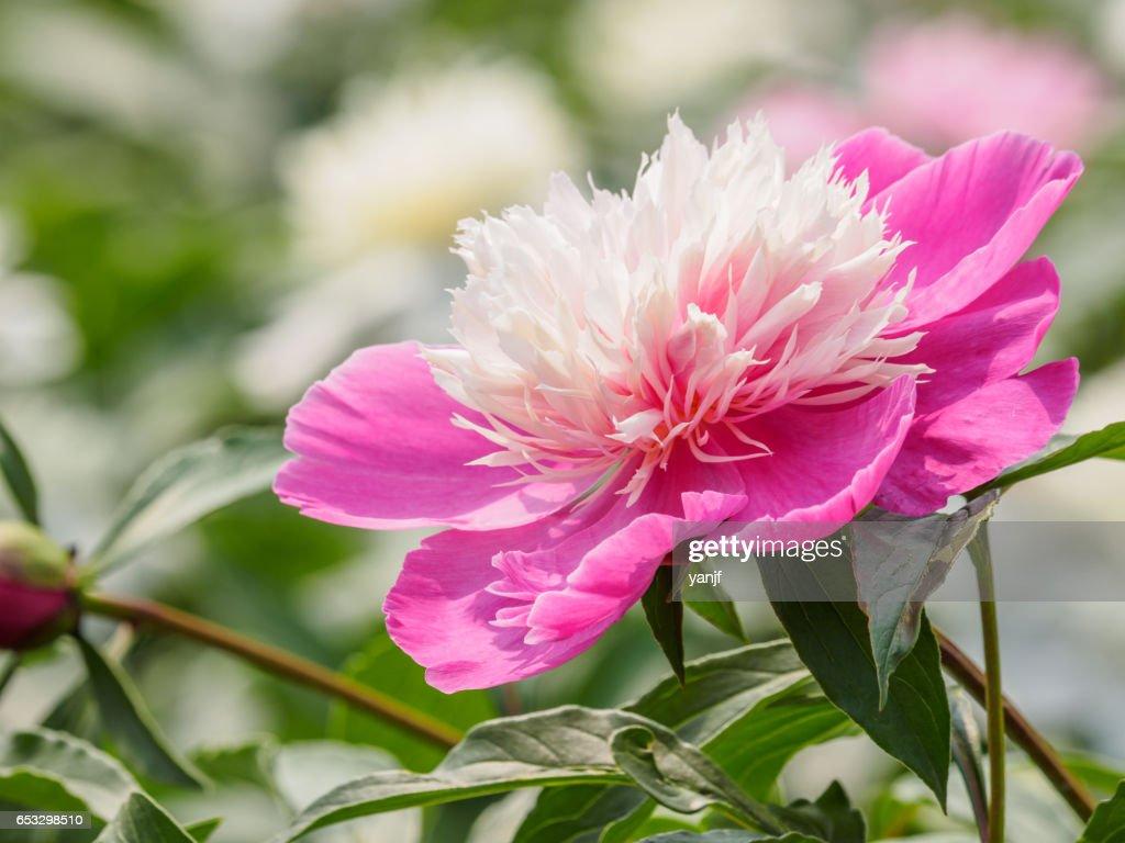 Summer Flowers Series Beautiful Pink Peony Flowers In Garden Stock