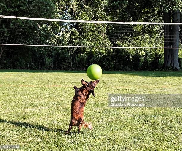 summer fun - long haired dachshund stock photos and pictures