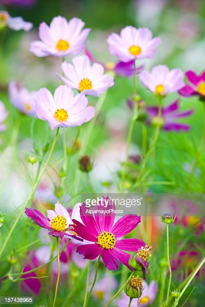 Summer garden with Cosmos flowers - VI