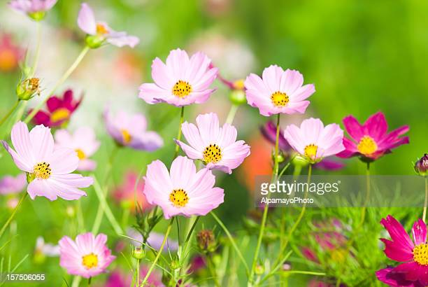 Summer garden with Cosmos flowers - VIII