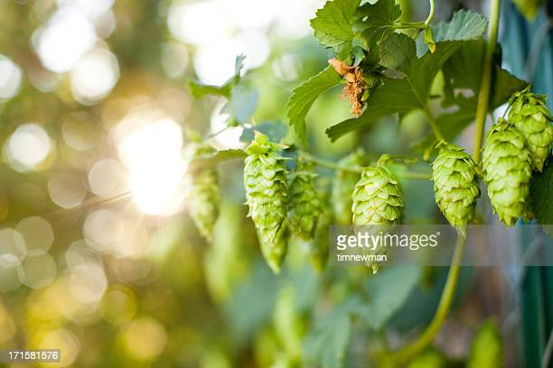 Summer Grown Hops for making Beer