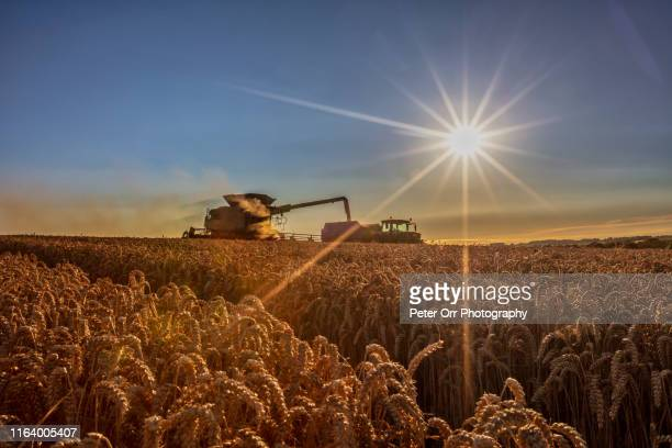 summer harvest, late afternoon - combine harvester stock pictures, royalty-free photos & images