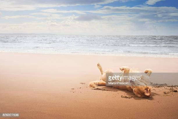 summer holidays are here - golden retriever stock pictures, royalty-free photos & images