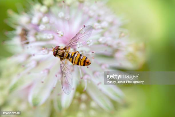 summer hoverfly resting on astrantia flower. - mandy pritty stock pictures, royalty-free photos & images