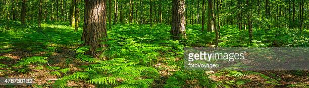 Summer in forest green fern fronds idyllic woodland glade panorama